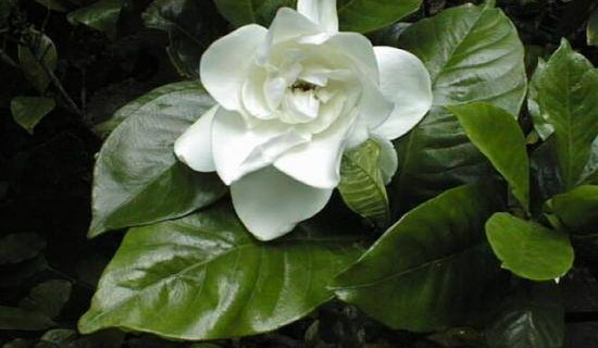 Бялата гардения – една история за любов !