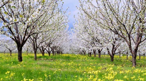 Символика на плодните дървета