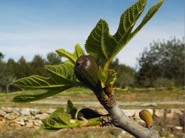 Плода на маслината в процес на растеж.